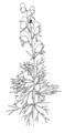 Aconitum napellus ellywa.png