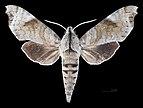 Acosmeryx miskini MHNT CUT 2010 0 139 Wau New Guinea male dorsal.jpg
