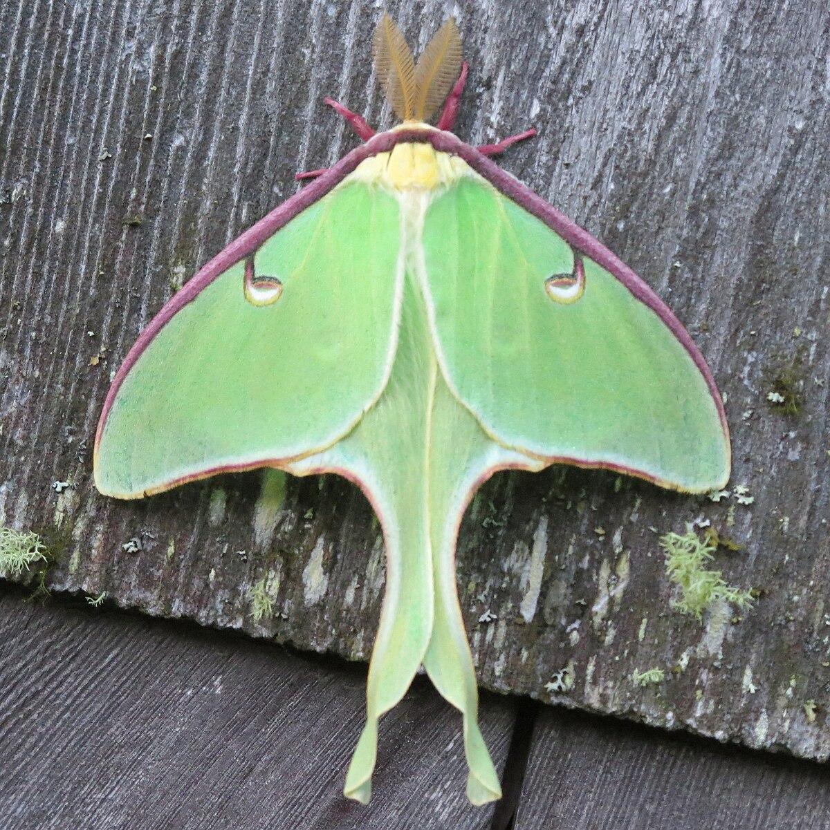 Luna Moth Wikipedia
