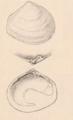 Adams&Adams 1858 pl 105 figs4a-b Abra tenuis.png