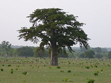 Adansonia digitata 0019.jpg