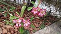 Adenium pink flower.jpg