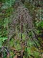 Aeonium davidbramwellii 06.JPG