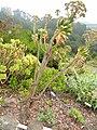Aeonium percarneum - University of California Botanical Garden - DSC08915.JPG