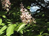 Aesculus indica2