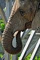 African Elephant (loxodonta africana).jpg