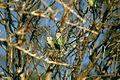 Agapornis cana -Madagascar -two-8.jpg