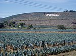 Agave fields in Tequila, Mexico.