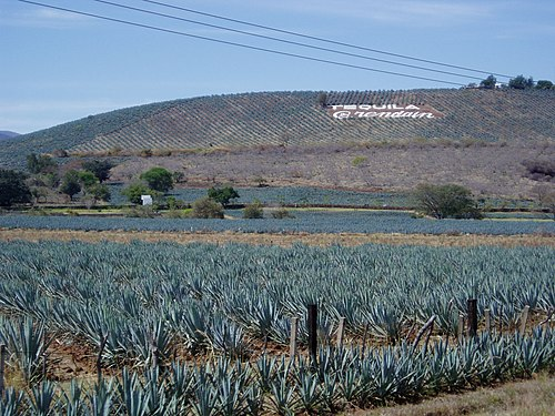 Fields that form part of the UNESCO World Heritage Site Agave Landscape and Ancient Industrial Facilities of Tequila Agave fields hill.jpg