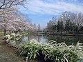 Ageo Ageomaruyama-kouen Sakuramaturi 1.jpg