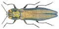 Agrilus lineola Redtenbacher, 1849.png