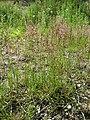 Agrostis stolonifera sl12.jpg