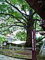 Aizenkatsura Tree.jpg