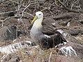Albatross birds - Espanola - Hood - Galapagos Islands - Ecuador (4871059201).jpg
