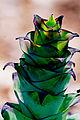 Alcantarea extensa flower spike detail (6317052049).jpg