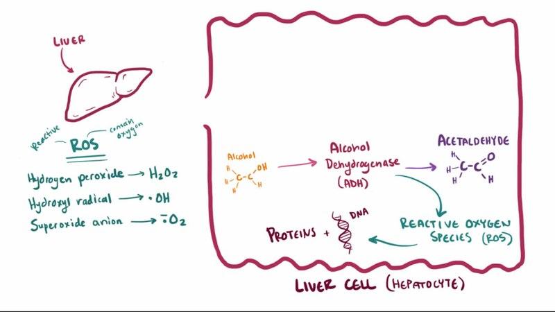 ملفalcohol Related Liver Diseasewebm ويكيبيديا