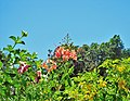 Allamanda blanchetii, Caesalpinia pulcherrima & Tecoma stans (4).jpg