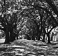 Allee of Oaks McLeod Plantation.jpg