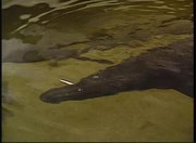 File:Alligator gar grabs prey.webmhd.webm