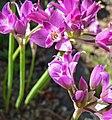 Allium crispum 2.jpg
