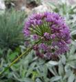 Allium montanum.jpg