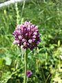 Allium rotundum sl35.jpg