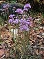 Allium thunbergii 3.JPG