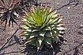 Aloe broomii.jpg