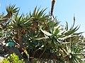 Aloe salmdyckiana (Monaco).jpg