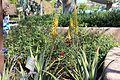 Aloe vera, Future World.jpg