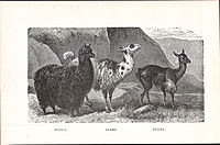Alpaca, Llama, Vicuna (illustration from New Student's Reference Work, 1914).jpg