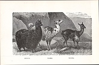 Vicuña - Image: Alpaca, Llama, Vicuna (illustration from New Student's Reference Work, 1914)