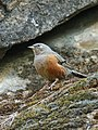 Alpine Accentor (Prunella collaris) (32893810842).jpg