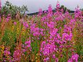 Alpine Meadow near Abisko.jpg