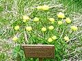 Alpinum na Zavizanu, bylinka, cesky nazev neznamy.jpg