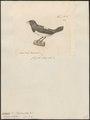 Amadina striata - 1700-1880 - Print - Iconographia Zoologica - Special Collections University of Amsterdam - UBA01 IZ15900195.tif