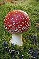 Amanita muscaria (16) (30146493054).jpg