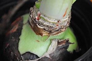 Bulb - Hippeastrum (amaryllis) bulb