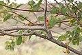 Amelanchier alnifolia 0323.JPG