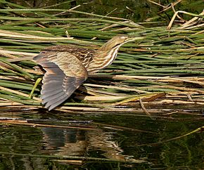 Description de l'image American Bittern.jpg.