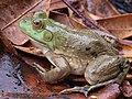 American Bullfrog (44090975671).jpg