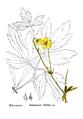 American Medicinal Plants-1-0035-4.png