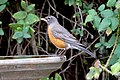 American Robin (31694967867).jpg