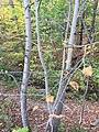 American linden in ravine.jpg