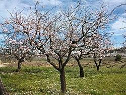Amandiers en fleurs dans la région de Valence en Espagne