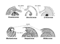 Ammonites peristome.PNG
