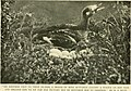 Among the water-fowl; observation, adventure, photography. A popular narrative account of the water-fowl as found in the northern and middle states and lower Canada, east of the Rocky mountains (1903) (14775399813).jpg