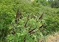 Amorpha fruticosa kz05.jpg