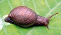 Amphibulima patula dominicensis 2.png