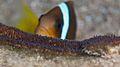 Amphiprion bicinctus, puesta.jpg